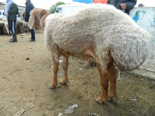 каждом самая вкусная порода овец купить проект Состав