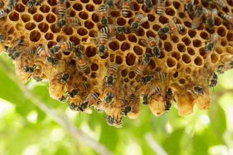 Honeybee-hive-release-470x313