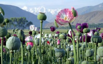 poppiesopium