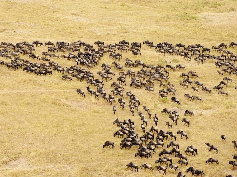 Aerial-View-of-Migrating-Wildebeest-Masai-Mara-National-Reserve-Kenya