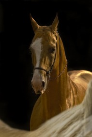 This is a smart horse, proud and very loyal to its master. Akhal-Teke is very sensitive to its rider and do not obey any order. This breed will not tolerate bad attitude by the rider.
