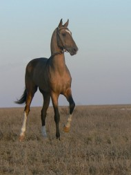 The breed is tough and resilient, having adapted to the harshness of Turkmenistan lands, where horses must live without much food or water. This has also made the horses good for sport. The breed is known for its endurance, and for its form and grace as a show jumper.