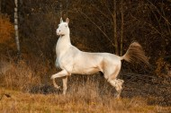There are currently some 6,600 Akhal-Tekes in the world, mostly in Turkmenistan and Russia, although they are also found throughout Europe and North America.