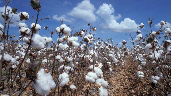 В Таджикистане собрано около 300 тыс. тонн хлопка