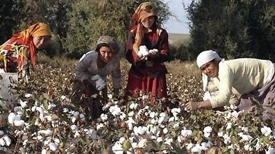 В Таджикистане собрано 135 тыс. тонн хлопка