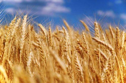 В Таджикистане на начало октября собрано свыше 791,5 тыс. тонн зерновых