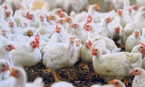 chicken-farm