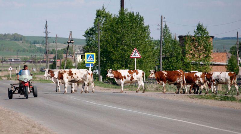 корова 3
