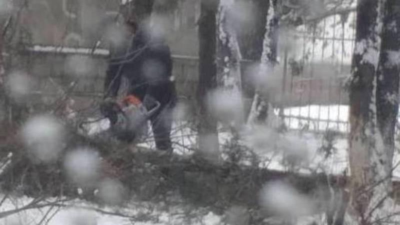 Горожанин: Зачем пилят деревья на улице Тагаева в Канте? (видео, фото)
