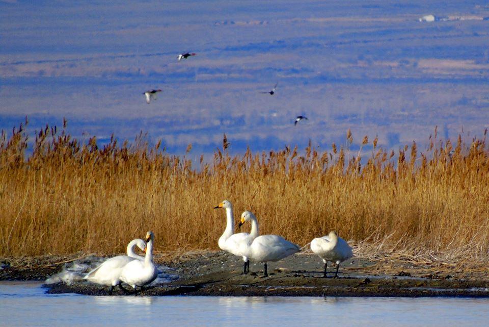 Фото — На Иссык-Куль прилетели погостить краснокнижные лебеди