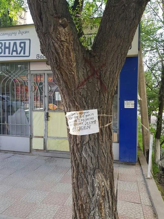 В мкр Восток-5 вдоль ул.Мамбетова собираются вырубать деревья , - бишкекчанин (фото)