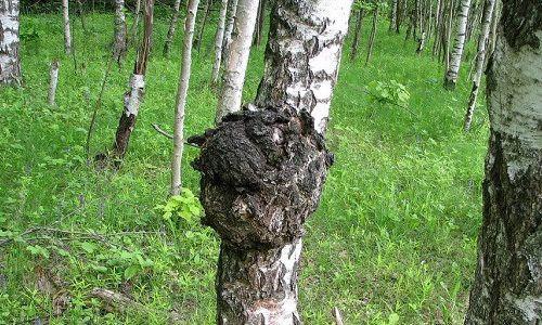 «4 тыс. тонн березового гриба». Госагентство охраны окружающей среды нанесло ущерб бюджету на 33,4 млн сомов, - депутат (видео) — Экология АКИpress
