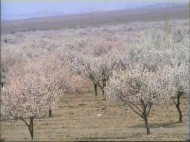 Head of the Department for Regional Development in Batken Salijan Khamrabayev says that apricot orchards cover 15 thousand hectares of land.