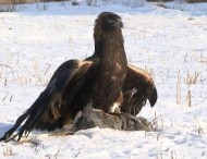 Afterwards, the golden eagle studies different communication signals: to return to a man's call, to circle over a certain place, to sit in the crowd of people or livestock. The trainings teach the birds to capture prey. Hunting skills allow to develop its intelligence.