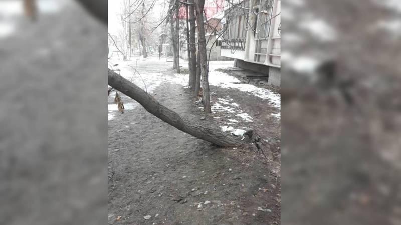 Дерево на ул.Усенбаева вот-вот могло упасть на пешеходов. Его спилили. Видео, фото