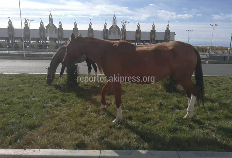 Фото — Прилегающая территория к ипподрому в Чолпон-Ате превратилась в пастбище для скота
