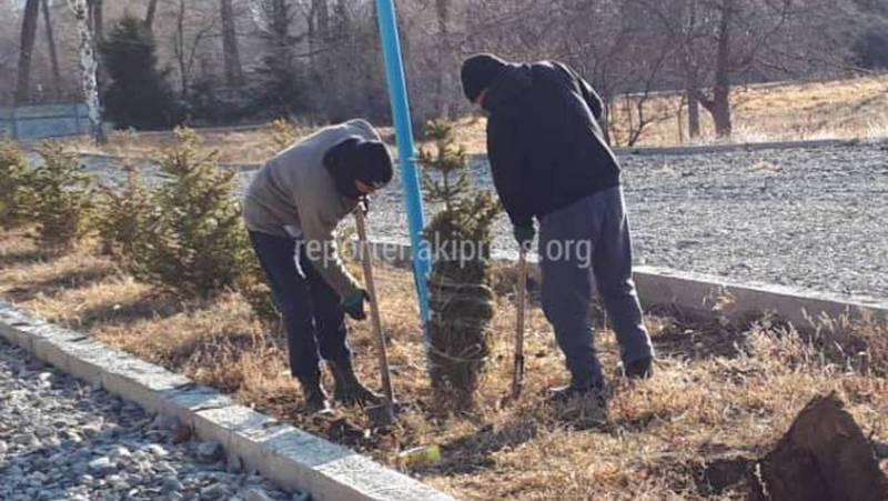 На территории санатория в Чолпон-Ате елки выкапывают для продажи? (видео)