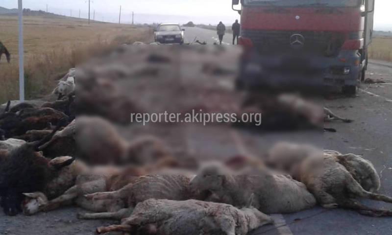 Фура наехала на перегоняемый скот. Погибли около сотни баранов (осторожно, фото)